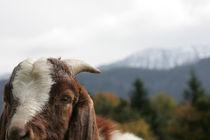 Schau mal wer da meckert, lustiges Ziegenfoto by Kathleen Schulze