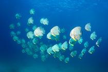 Longfin Batfish, Langflossen Fledermausfische, Platax teira von Norbert Probst