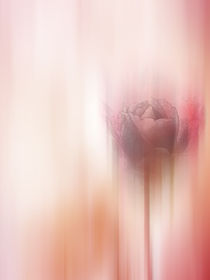 rose abstract by Franziska Rullert