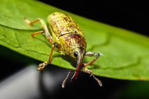 little hairy weevil von Craig Lapsley