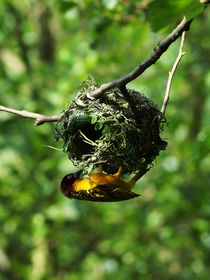 Webervogel beim Nestbau, Weaver Bird building a nest by Sabine Radtke