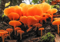 04pol-0005-orange-false-chanterelle-fungi