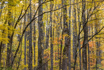 Yellow poplar pattern, Great Smoky Mountains, TN by Tom Dempsey