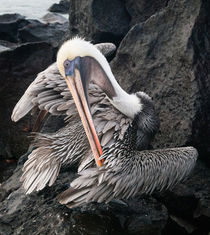 Galapagos Brown Pelican preens, Galapagos Islands von Tom Dempsey