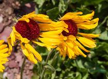 Yellow Gaillardia flower, Montana, USA by Tom Dempsey