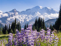 Lupine flowers, Sunrise, Mount Rainier, Washington by Tom Dempsey
