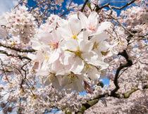 Yoshino cherry blossom pattern, University of Washington by Tom Dempsey