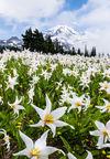 1207sp2-122-125pan-rainier-avalanche-lily