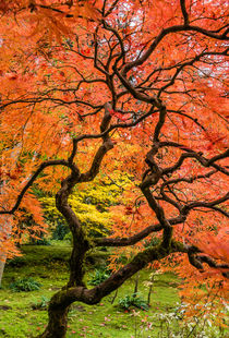 Japanese maple, fall orange pattern, Seattle. von Tom Dempsey