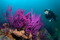 Diver looks at Soft corals by Norbert Probst