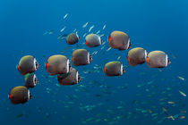 Shoal Redtail Butterflyfishes by Norbert Probst