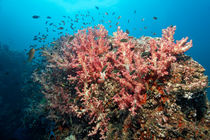 Soft Coral Reef  by Norbert Probst
