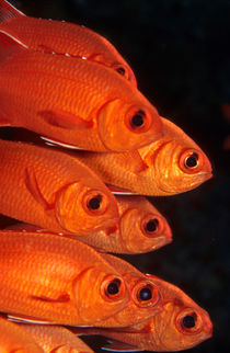 soldierfish by Michael Moxter