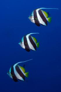 bannerfisch von Michael Moxter