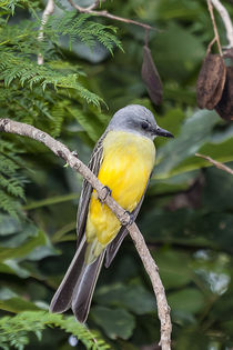 Tropical Kingbird von Craig Lapsley