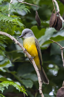 Portrait of Tropical Kingbird von Craig Lapsley