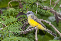 tropical Kingbird on a branch by Craig Lapsley