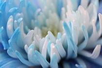 Chrysanthemum  von Frank Baker