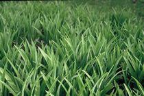 Grass by Frank Baker