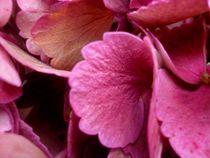 Farbige-hortensie