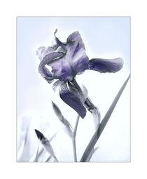 Iris germanica by Inge Meldgaard