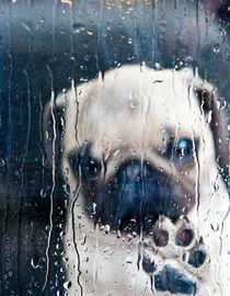 Regenwetter-Mops von Beate Zoellner