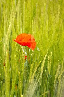 Poppy by David Pringle