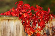 Holzwand-mit-rotem-weinlaub
