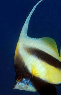 bannerfish by Michael Moxter
