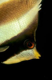 bannerfish von Michael Moxter