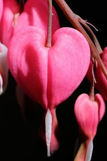 Bleeding-hearts