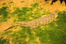 Crocodile lying in a row by slavamalai