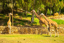 Group of giraffes walking von slavamalai