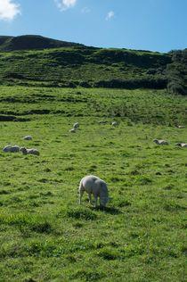 Irish Sheep by Johannes Buheitel