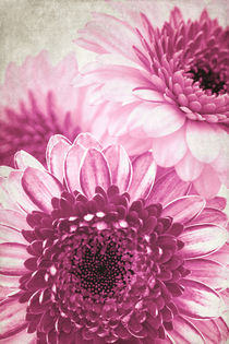 Pink Gerbera by AD DESIGN Photo + PhotoArt