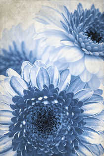 Blue Gerbera by AD DESIGN Photo + PhotoArt