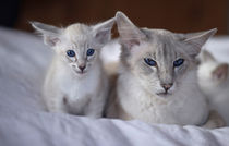 Dsc2916-dot-bali-kitten3-05-13
