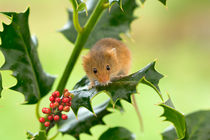 Harvest Mouse at Christmas by Louise Heusinkveld
