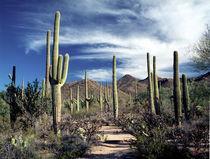 Saguaro Cactuses in Saguaro National Park von Randall Nyhof