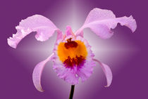 Orchidee Cattleya - orchid by monarch