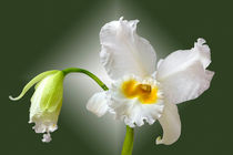 Orchidee Cattleya Eagle Eye - orchid by monarch
