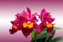 Orchidee BLC San Yang Ruby - orchid by monarch
