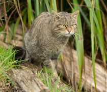 Scottish-wild-cat0017