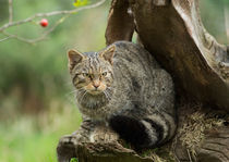Scottish Wildcat on an Old Stump by Louise Heusinkveld