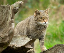 Scottish wildcat, Felis silvestris by Louise Heusinkveld