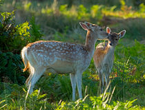 Fallow deer doe with fawn von Louise Heusinkveld