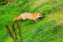 Red Fox Running Through the Grass by Louise Heusinkveld