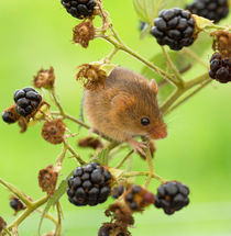 Harvest mouse on a bramble stem by Louise Heusinkveld