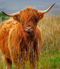 Red Highland Cow by Louise Heusinkveld