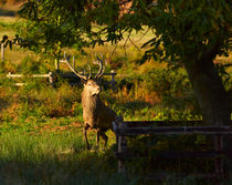 Red Deer Stag by Louise Heusinkveld